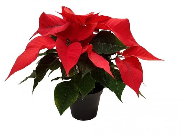 Weihnachtsstern 'Prima Vera' rot - Euphorbia pulch. (12cm Topf, 30-40cm)