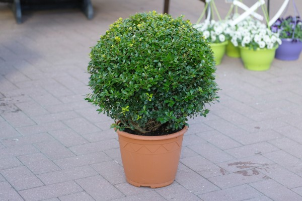 Löffel-Ilex Kugel gelb - Ilex crenata (26cm Topf, 20-40cm)