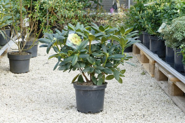 Rhododendron 'Bohlken's Laura'® - Rhododendron yak. (C5, 30-50cm)