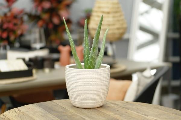 Aloe - Aloe vera (10,5cm Topf, 30-40cm)