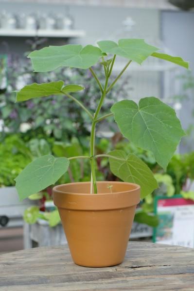BLU Kiribaum 'NordMax21'® Blauglockenbaum - Paulownia Hybride (15cm Topf)