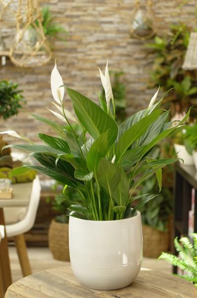 Friedenslilie 'Bingo Cupido' weiß - Spathiphyllum (17cm Topf, 60-80cm Höhe inkl. Kulturtopf)