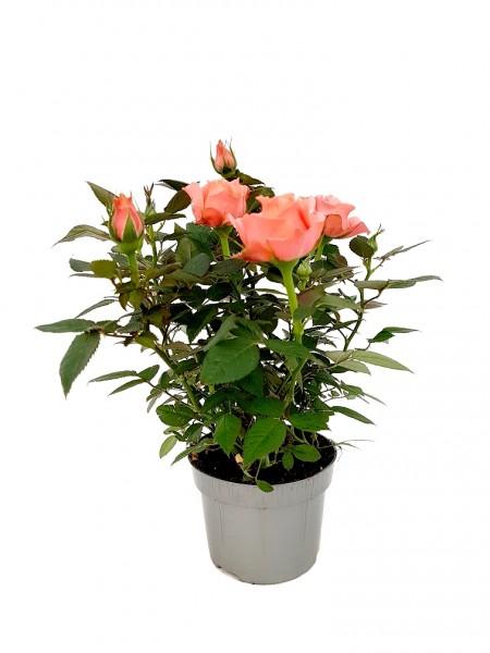 Topfrose 'Aloha' apricot - Rosa Kordana® (11cm Topf, 30-40cm)