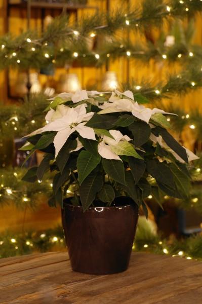Herbststern 'Princettia® Pure white' Weihnachtsstern - Euphorbia pulch. (12cm Topf, 20-30cm Höhe i