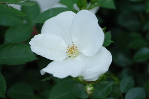 Bodendecker-Rose 'Escimo'® - Rosa (C4,6)