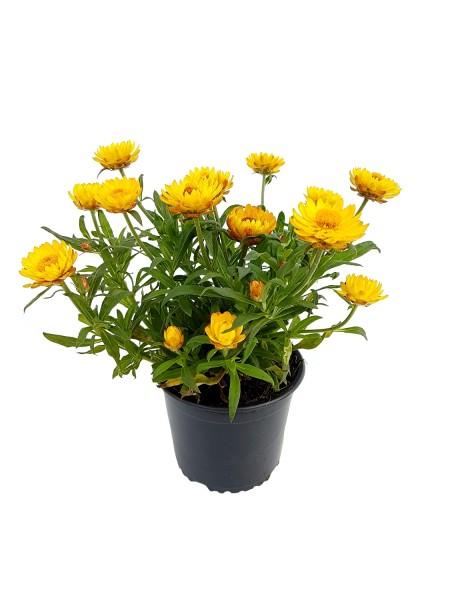 Strohblume gelb - Bracteantha bracteata (12cm T., 20-40cm Höhe inkl. Kulturtopf)