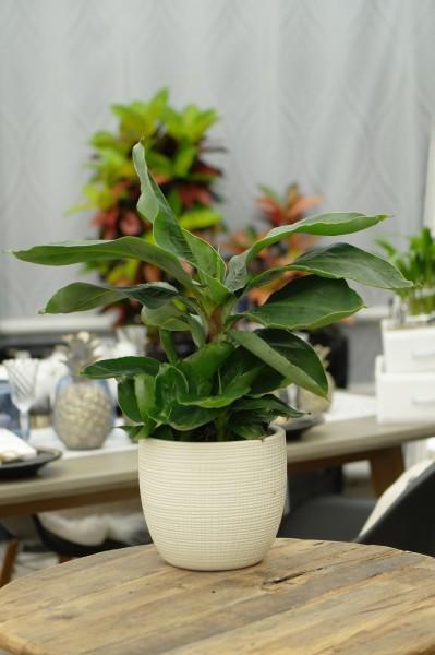 Zierbanane - Musa bananarama (14cm Topf, 30-50cm)