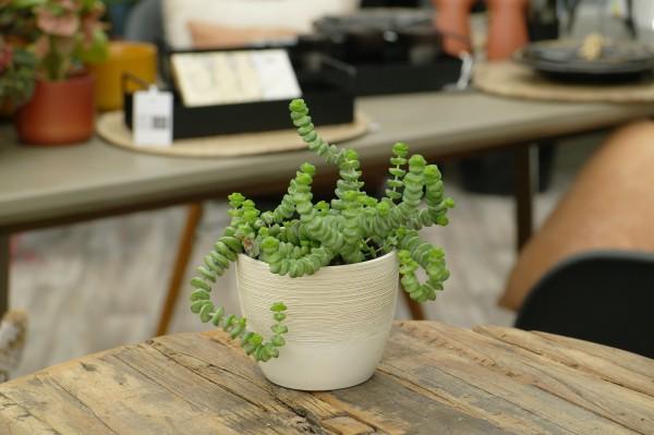Felsen-Dickblatt 'Hottentot' - Crassula marnieriana (10cm Topf)
