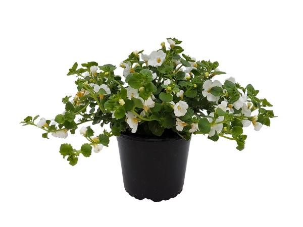 Schneeflockenblume Bacopa (Sutera) weiß - Chaenostoma cordatum (12cm Topf)