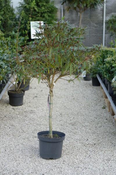 Rhododendron-Stamm 'Graziella' - Rhododendron ponticum (Sta, 100-120cm)