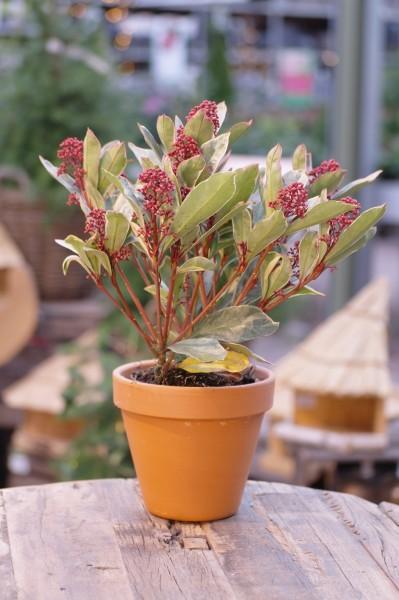 Japanische Blütenskimmie 'Perosa'® - Skimmia japonica (13cm Topf)