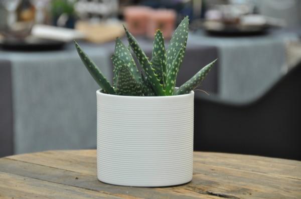 Aloe - Aloe paradisicum (10,5cm Topf, 10-20cm Höhe inkl. Kulturtopf)