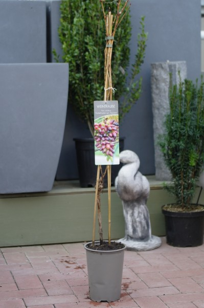 Weinrebe 'Datteltraube' syn. 'Souvenir' - Vitis (C3, 80-100cm)