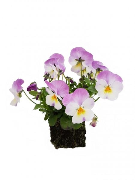 Hornveilchen hellviolett-weiß mit gelbem Auge - Viola cornuta (Erdpresstopf)